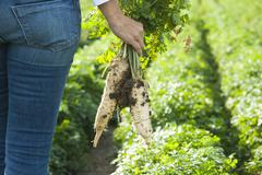 cultivation of radish in a field - stock photo