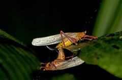 aposematic bush crickets (tettigoniidae spec.), mating, tiputini rain forest, - stock photo