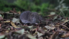 Greater White-toothed Shrew feeding Stock Footage