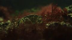 Carcinus maenas resting on the sea floor Stock Footage