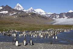 King penguins (aptenodytes patagonicus), st. andrews bay, south georgia, suba Stock Photos