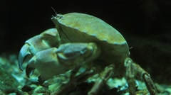 Underwater shot of an Edible crab Stock Footage