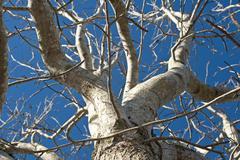 Bare tree against a blue sky Stock Photos