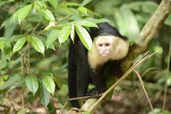 Stock Photo of white-headed or white-faced capuchin (cebus capucinus), manuel antonio nation