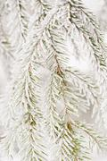 Frosty Fir branches (Abies), Sweden, Europe - stock photo