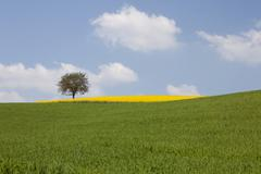 single tree and a field of rape or canola (brassica napus) - stock photo