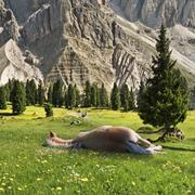 a sleeping haflinger horse, geisler mountains at the back, gschnagenhardt alm - stock photo