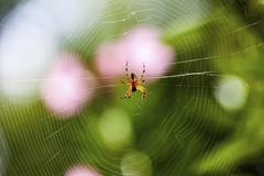 European garden spider or cross orbweaver (araneus diadematus) with prey in i Stock Photos