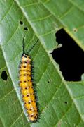 Gulf fritillary or passion butterfly (agraulis vanillae), caterpillar, tiputi Stock Photos