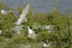 common tern (sterna hirundo) attacking sandwich tern (sterna sandvicensis), t - stock photo