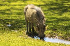 Stock Photo of common warthog (phacochoerus africanus), namibia, africa
