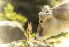 tyrolean brown cattle, calf grazing, grawa alm, mountain pasture, stubai vall - stock photo