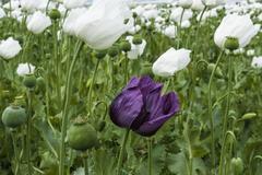 Opium poppy (papaver somniferum) field, turkey Stock Photos