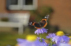 red admiral butterfly (vanessa atalanta) on china aster (callistephus chinens - stock photo