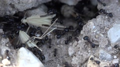 4K Macro Ants Working Gathering Food for Winter, Ant Hill, Workers Insects Hive - stock footage