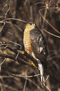 sharp-shinned hawk (accipiter striatus), adult perched, bosque del apache nat - stock photo