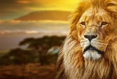 Leijona muotokuva savanni maisema taustalla ja Kilimanjaro auringonlaskun Kuvituskuvat