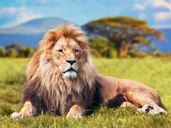 Big lion lying on savannah grass. landscape with characteristic trees on the  Stock Photos