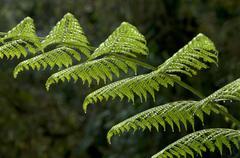 fern frond, tandayapa region, andean cloud forest, ecuador, south america - stock photo