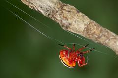 bolas spider (encyosaccus sexmaculatus), orb-web spider, tiputini rain forest - stock photo