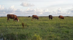 Free Range Cows Grazing On Grassland - stock footage