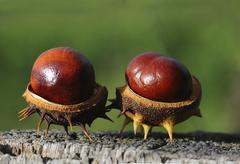 Two chestnuts (aesculus hippocastanum) Stock Photos