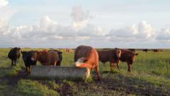 Free Range Cows On Grassland - stock footage