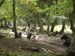 zebu cattle (bos primigenius indicus) in the rainforest, punta uva, puerto vi - stock photo