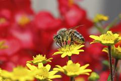 honey bee (apis sp.), on a zinnia or miniature sunflower (sanvitalia procumbe - stock photo