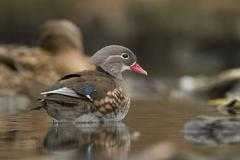 mandarin duck (aix galericulata), bergisches land region, north rhine-westpha - stock photo