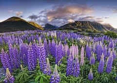lupines (lupinus) at arthur's pass, south island, new zealand, oceania - stock photo