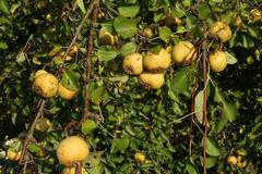 wild pears (pyrus pyraster), allgaeu, bavaria, germany, europe - stock photo