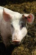 Domestic pig (sus scrofa domestica), stabling with free-range area and straw  Kuvituskuvat