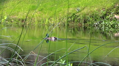 Male duck bird swim against the stream in river water. Follow Stock Footage
