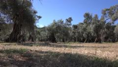 Ultra HD 4K Walking in Olive Orchard, Greece Countryside View in Summer, POV Stock Footage