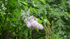 Wet lilac tree blooms closeup after rain water drops fall Stock Footage