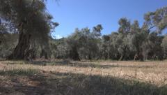 Walking in Olive Orchard, Greece Countryside Rustic View in Summer, POV, Rural Stock Footage