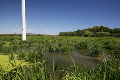 rice field, rice cultivation near pals, basses d'en coll, catalonia, spain, e - stock photo