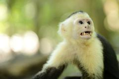 Stock Photo of white-headed or white-faced capuchin (cebus capucinus), manuel antonio nation