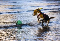 Tricolour beagle, male playing in the water with a buoy Stock Photos