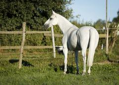 Grey thuringian warmblood mare standing in a paddock Stock Photos
