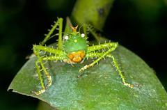 spiny devil bush cricket (panacanthus cuspidatus), tiputini rain forest, yasu - stock photo