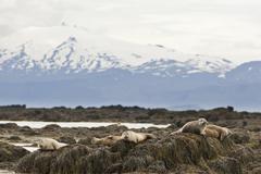 Stock Photo of harbor or harbour seal (phoca vitulina), mt snæfelljoekull at back, snæfell