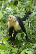 White-headed or white-faced capuchin (cebus capucinus), manuel antonio nation Stock Photos