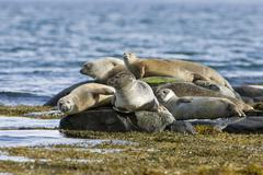 Stock Photo of harbour or harbor seals (phoca vitulina), westfjords or west fjords, iceland,