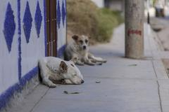 Sleeping dogs lying on the sidewalk, banjos del inca, cajamarca, peru, south  Kuvituskuvat