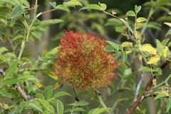 sleep apple or bedeguare of the gall wasp (cynipidae), on a dog rose (rosa ca - stock photo