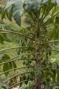 papaya or pawpaw (carica papaya) on the tree, leymebamba, amazonas, peru, sou - stock photo