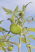 Tomato (solanum lycopersicum), harzer riesen variety Kuvituskuvat