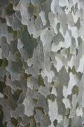 American sycamore tree (platanus sp.), detailed view of the bark Stock Photos